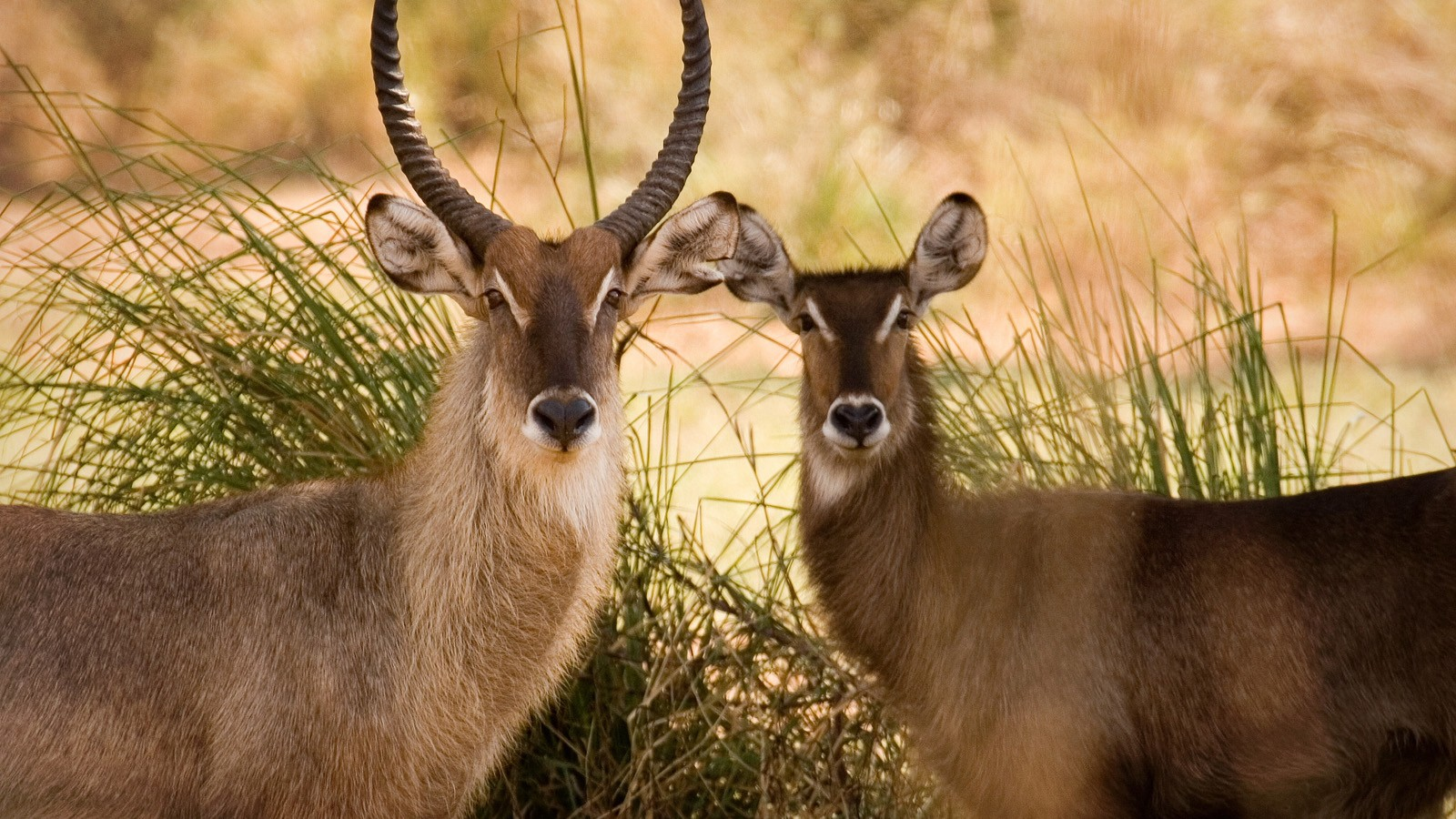 waterbuck couple