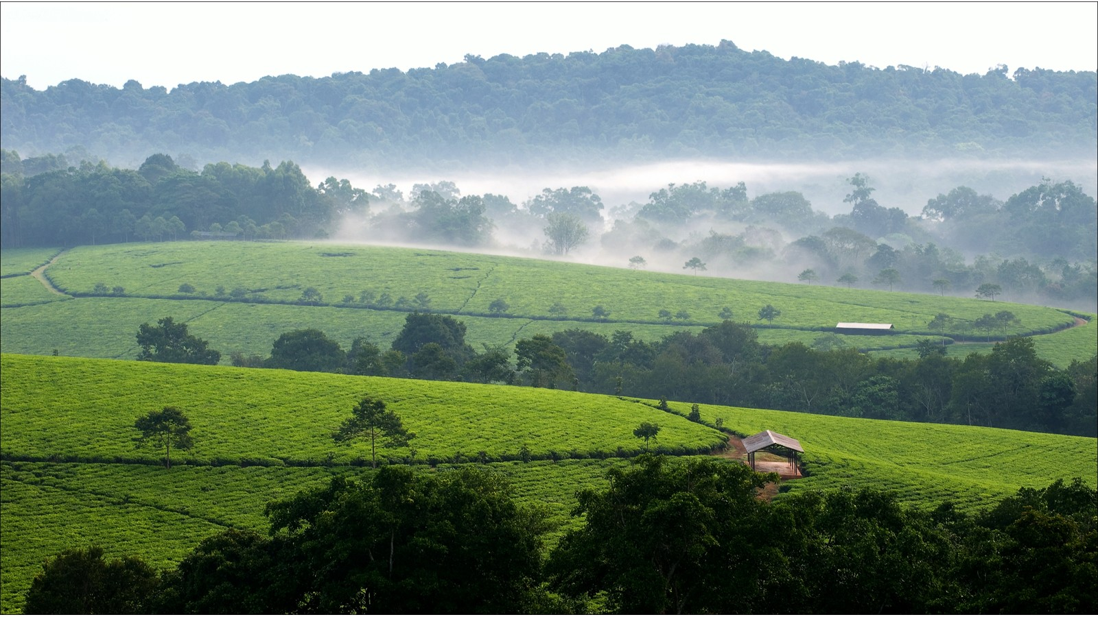Bwindi tea plantations. 3