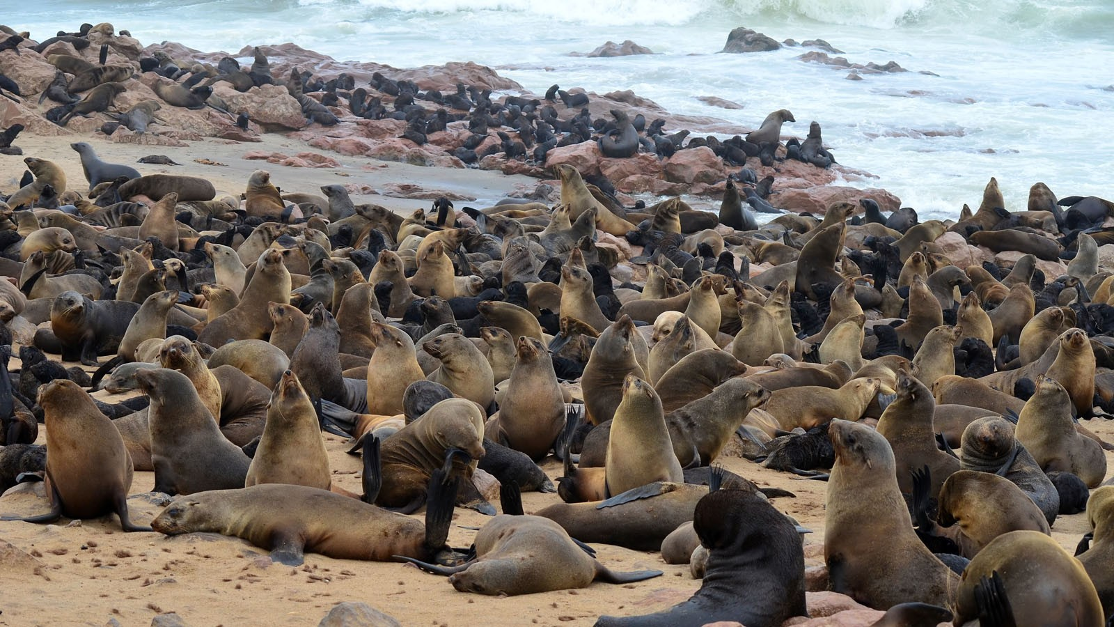 seals cololny Cape Cross Namibia