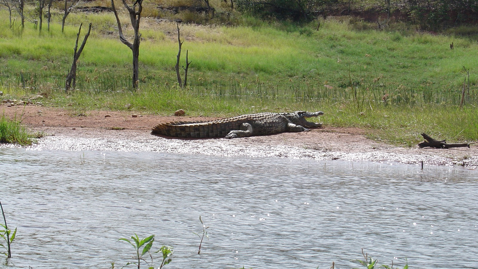 Crocodile in Zimbabwe