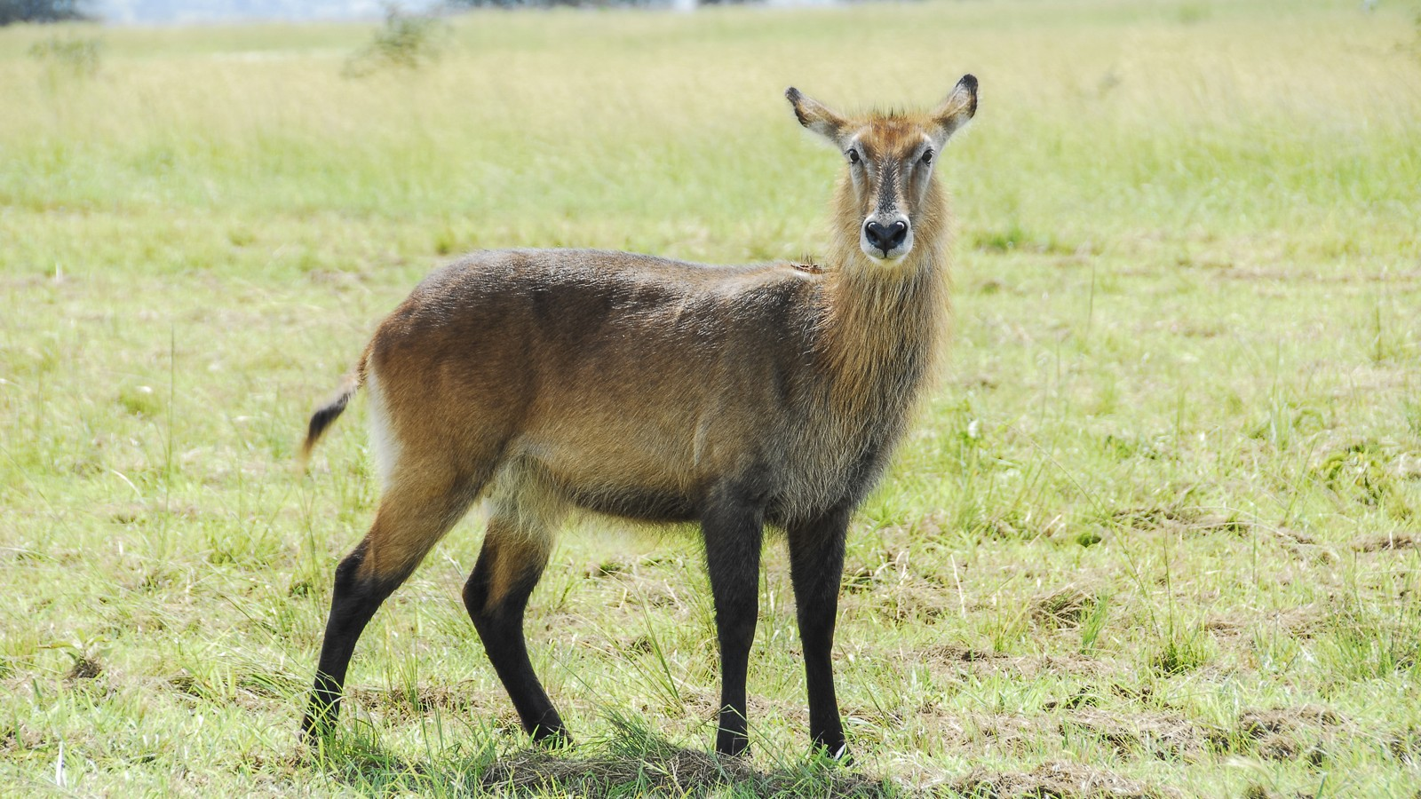 Female waterbuck, Kidepo Valley National Park (Uganda)