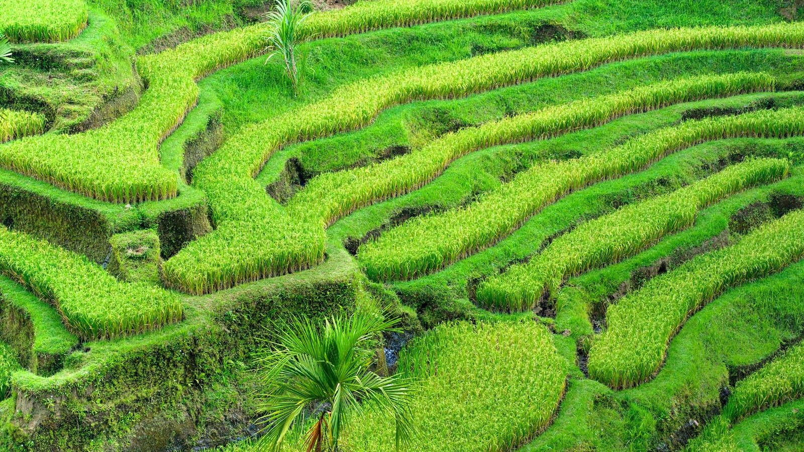 Amazing view of the Rice Terrace field, Ubud, Bali,  Indonesia.