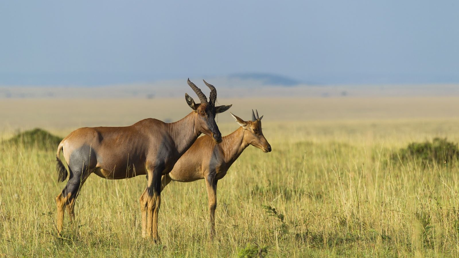 Topi mother with calf, Masai Mara National Reserve, Kenya.