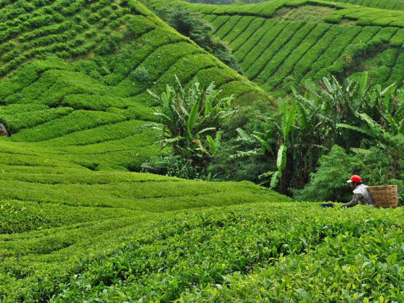 Excursiones guiadas Cameron Highlands, Malasia
